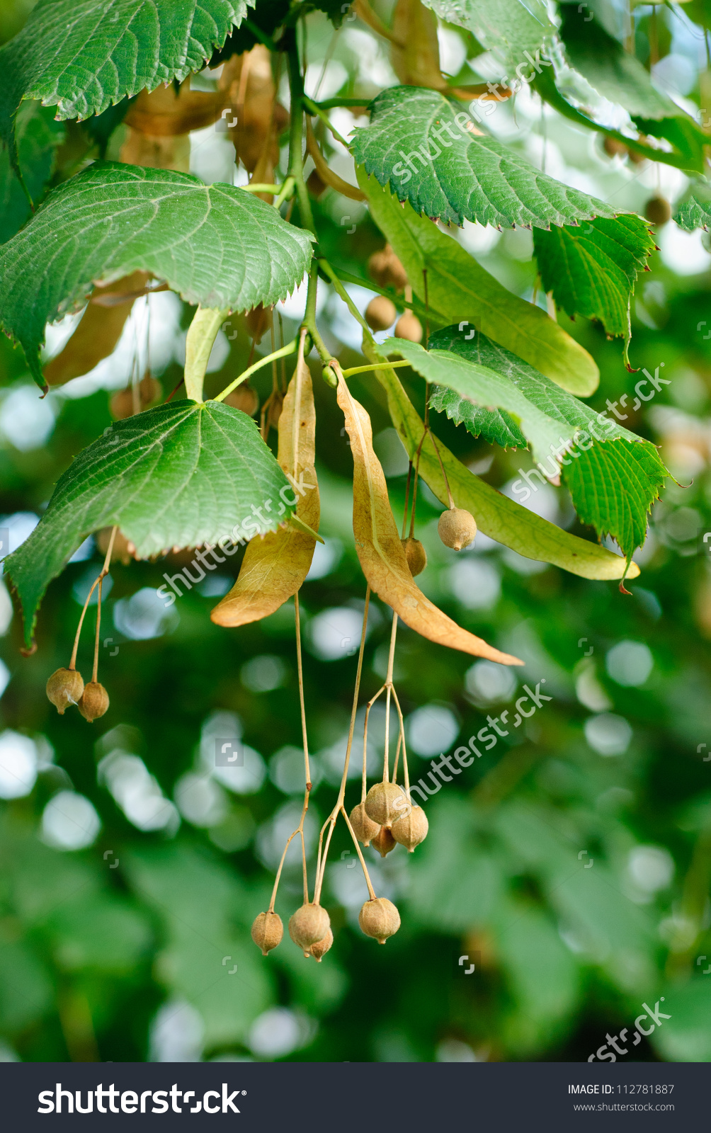 Linden Tree Seeds Closeup On Green Leaves Background Stock Photo.