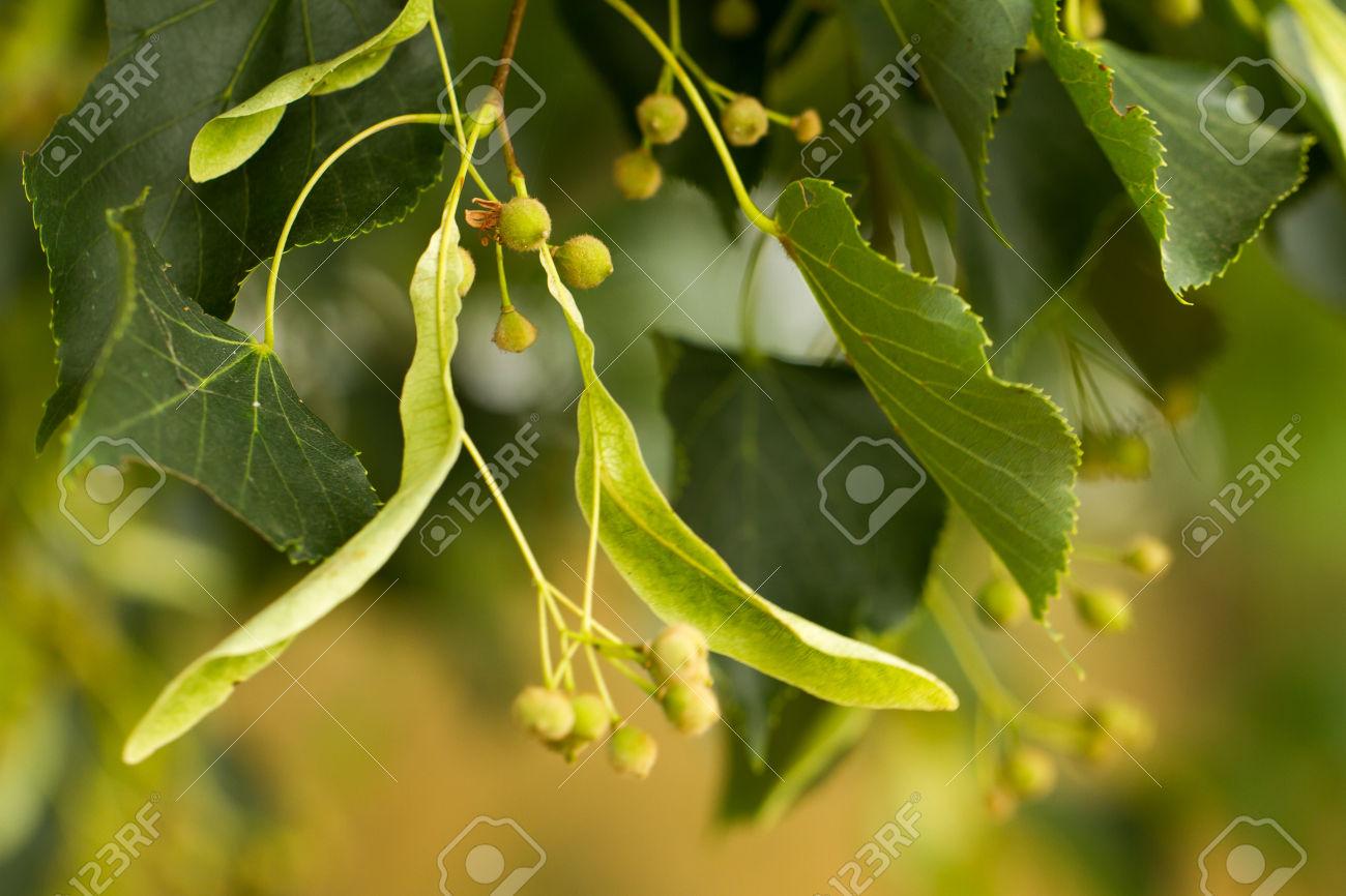Linden Seeds.