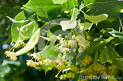 Linden Tree Branch With Leaves, Flowers And Seeds Stock Images.