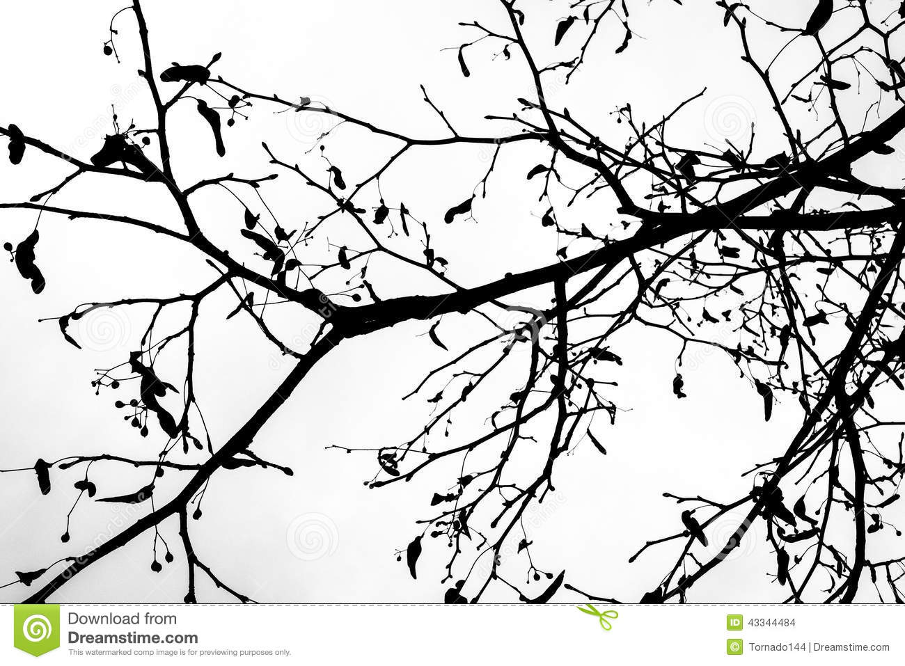 Linden Tree Seeds Stock Photos, Images, & Pictures.