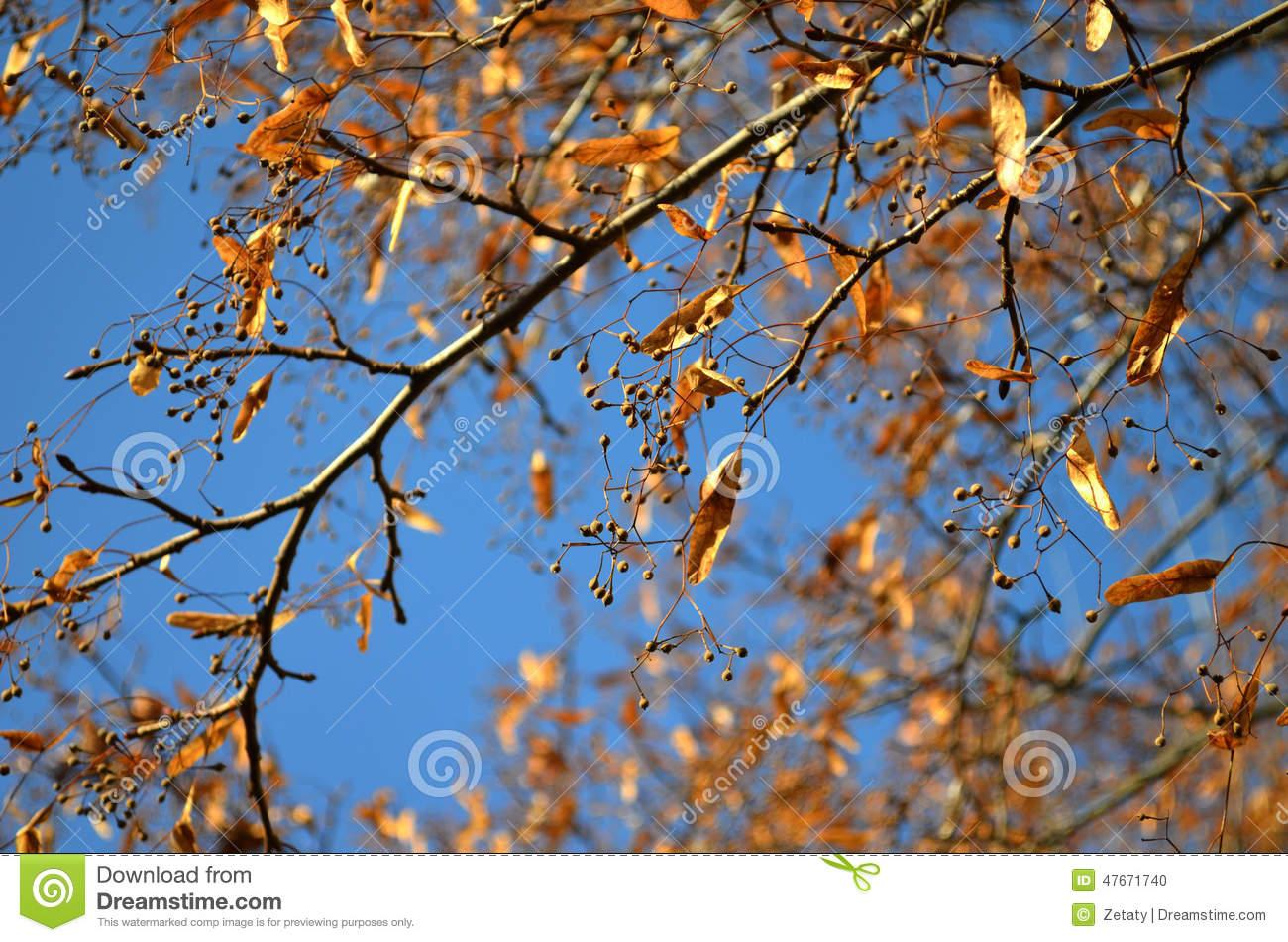 Linden Seeds On Tree Stock Photo.