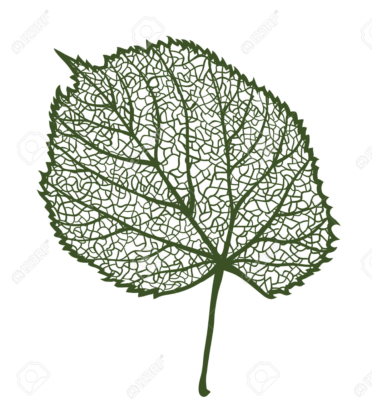 Vector Linden Leaf, Isolated On White Background Royalty Free.