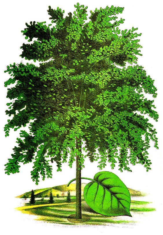 Antique Images: Linden Tree Digital Download Vintage Botanical.