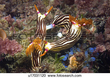Stock Photography of slug, nembrotha, sea, nudibranch, lineolata.