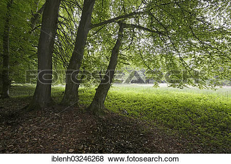 """Pictures of """"Riparian forest, Beeches (Fagus sylvatica), Biener."""