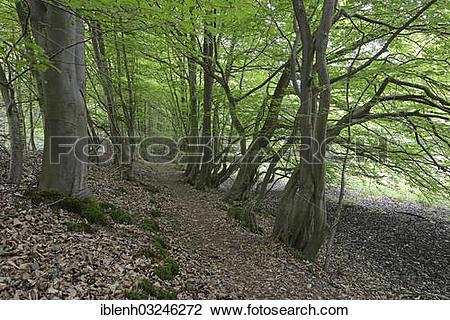 "Stock Photo of ""Riparian forest, Hornbeam (Carpinus betulus."
