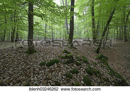 """Stock Photo of """"Riparian forest, Beeches (Fagus sylvatica), Biener."""