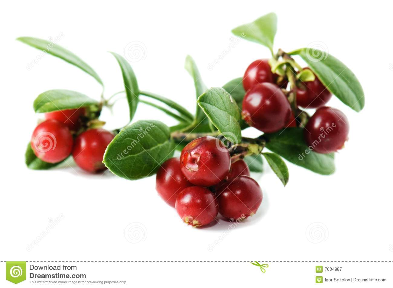 Cowberry Royalty Free Stock Photography.
