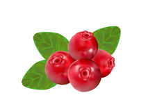 Cowberry Stock Illustrations.
