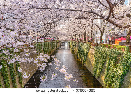 Cherry Blossom Lined Meguro Canal Tokyo Stock Photo 310072442.
