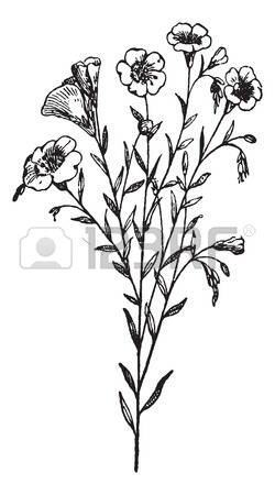 109 Linum Stock Illustrations, Cliparts And Royalty Free Linum Vectors.