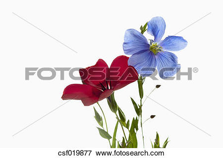 Picture of Red flax (Linum grandiflorum) and blue flax (Linum.