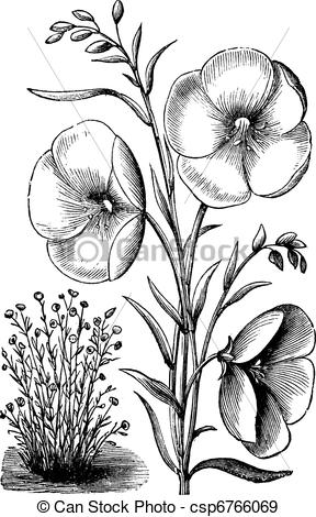EPS Vectors of Linum grandiflorum or Red flax vintage engraving.