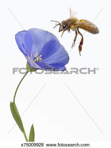 Pictures of Bee flying to blue flax (Linum lewisii) blossom.