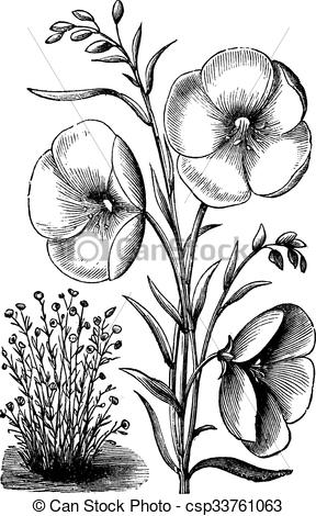 Clip Art Vector of Linum grandiflorum or Red flax vintage.