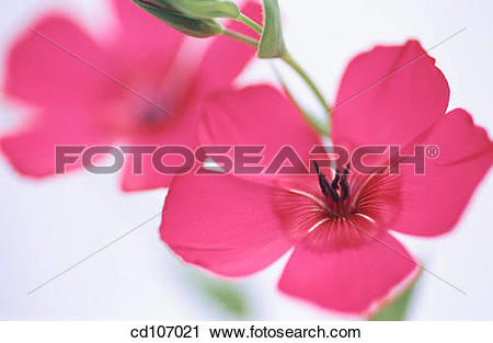 Stock Photography of Scartlet Flax (Linum grandiflorum) cd107021.
