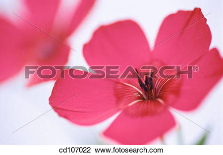 Stock Photo of Scartlet Flax (Linum grandiflorum) cd107022.