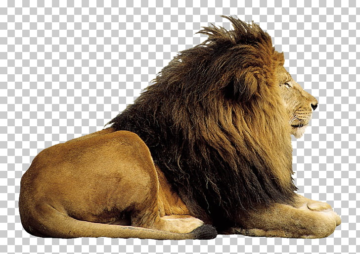 Lion Computer file, Prairie Lion King PNG clipart.