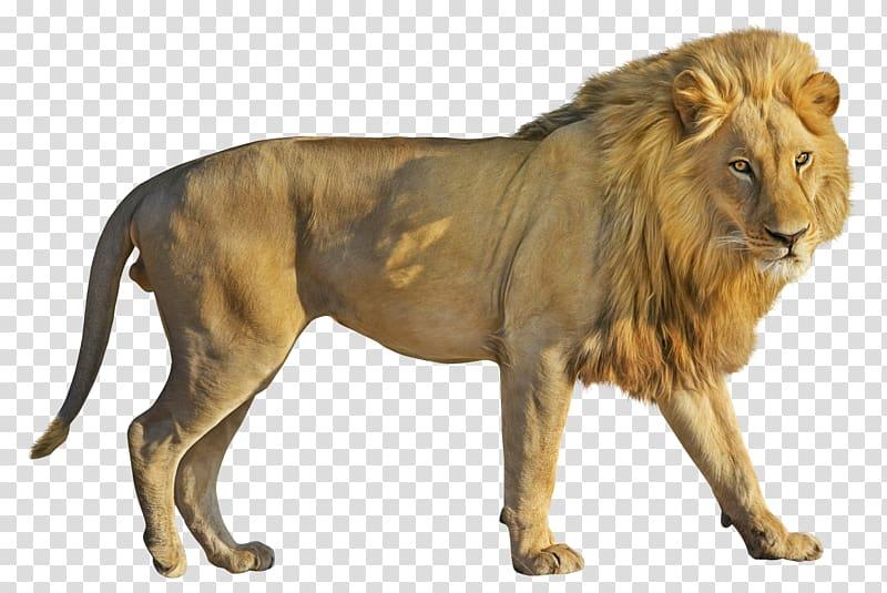 Lion Computer file, Lion transparent background PNG clipart.
