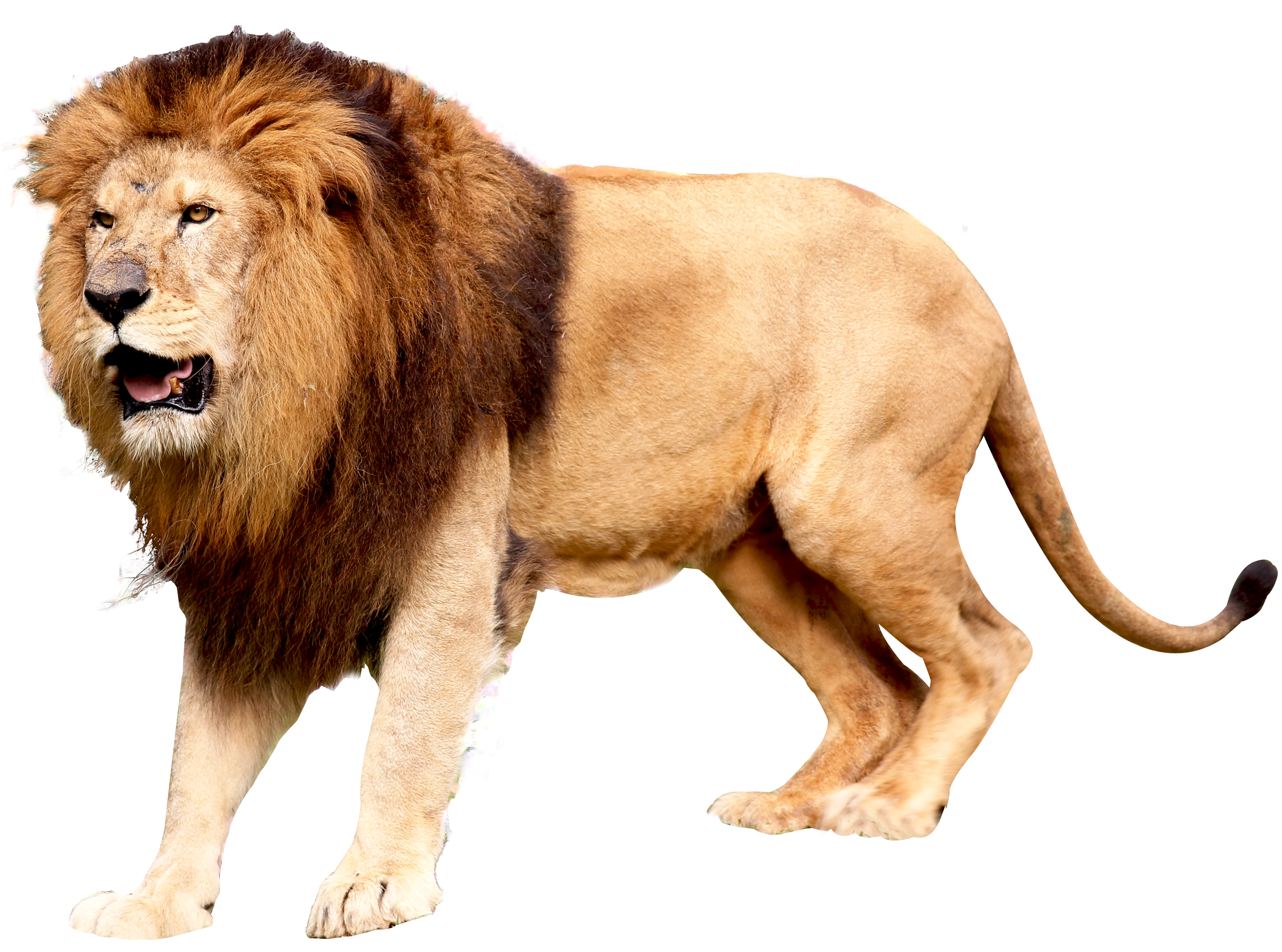East African lion Icon.