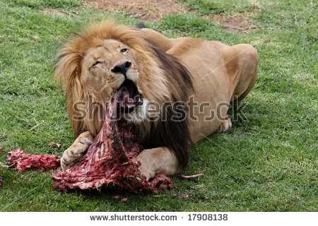 lion eating clipart #16