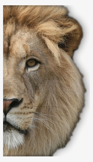 Lion Face PNG, Transparent Lion Face PNG Image Free Download.