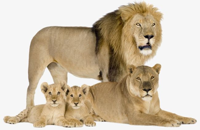 The Lions Family, Family Clipart, Animal, Four Lions PNG.