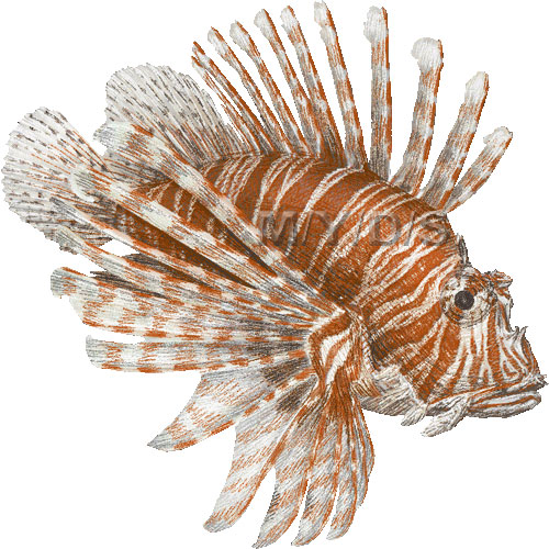 Red Lionfish clipart graphics (Free clip art.