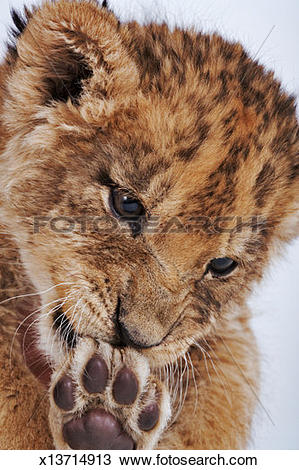 Stock Photo of Lion cub (Panthera leo) licking paw, close.