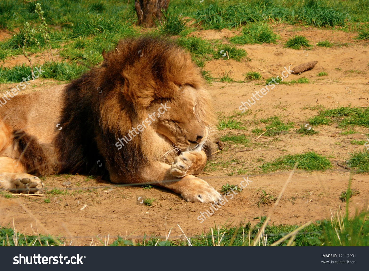 A Lion Cleaning Itself By Licking His Paws. Stock Photo 12117901.