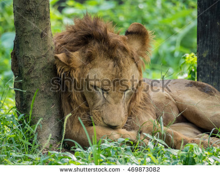 Lion Licking Stock Photos, Royalty.