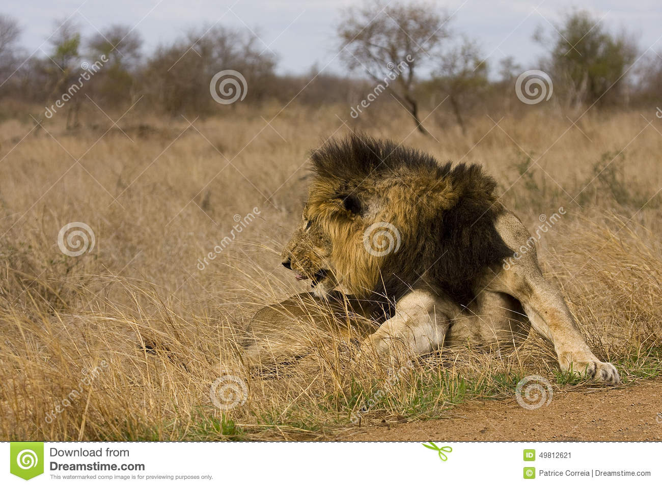 Lion Licking Paw Stock Photos, Images, & Pictures.