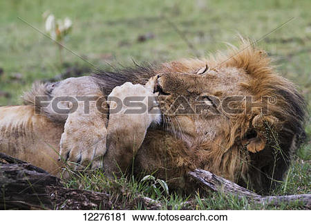 Stock Photography of Male East African lion (Panthera leo nubica.