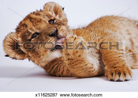 Picture of Lion cub (Panthera leo) licking paw, close.