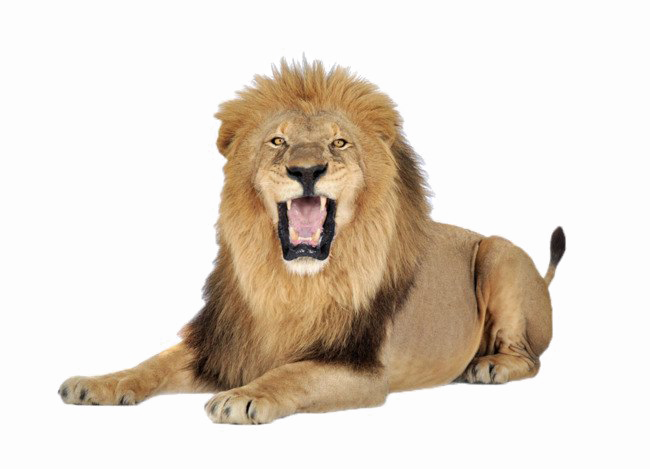 Lion PNG Images Transparent Free Download.