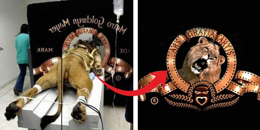 How many lions were involved in creating the MGM logo.