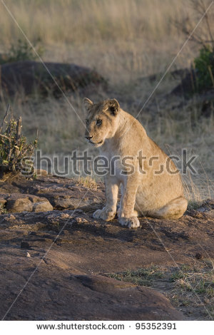 Lion Sitting Stock Photos, Royalty.