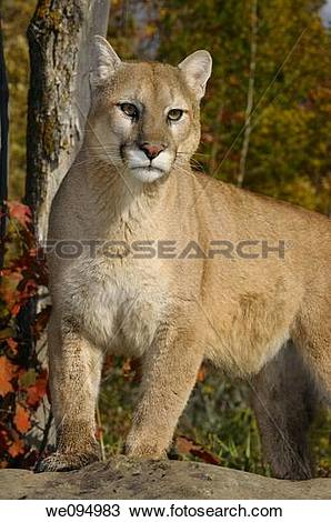 Stock Photo of Mountain lion standing on top of a rock in an.