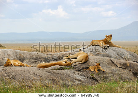 Lion Pride Stock Images, Royalty.