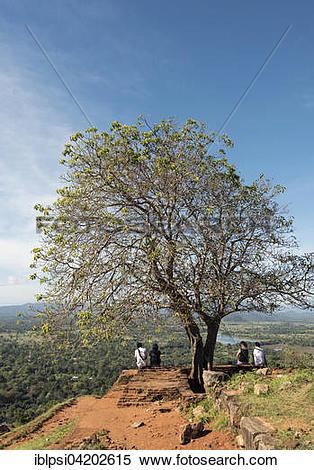 Stock Image of Tree on top of Sigiriya or Lion Rock, Sri Lanka.