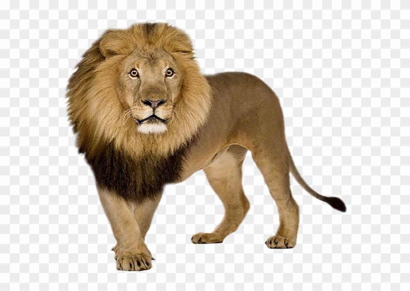 Lion Png, Transparent Png.