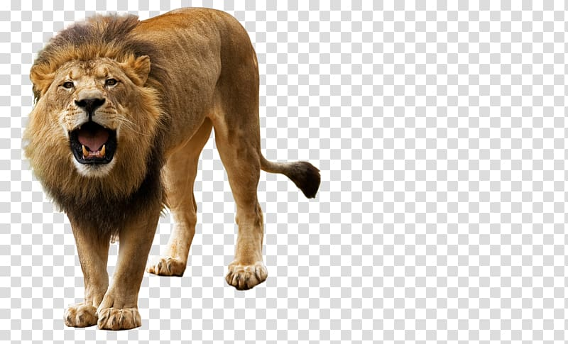 Brown lion, Lion Roar , Roar, Angry Lion transparent.