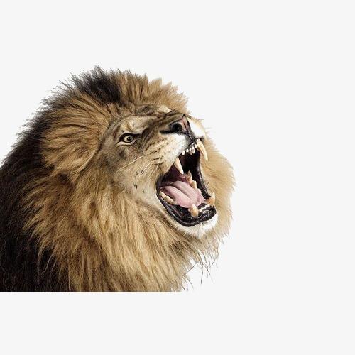 Lion Png Roaring & Free Lion Roaring.png Transparent Images.
