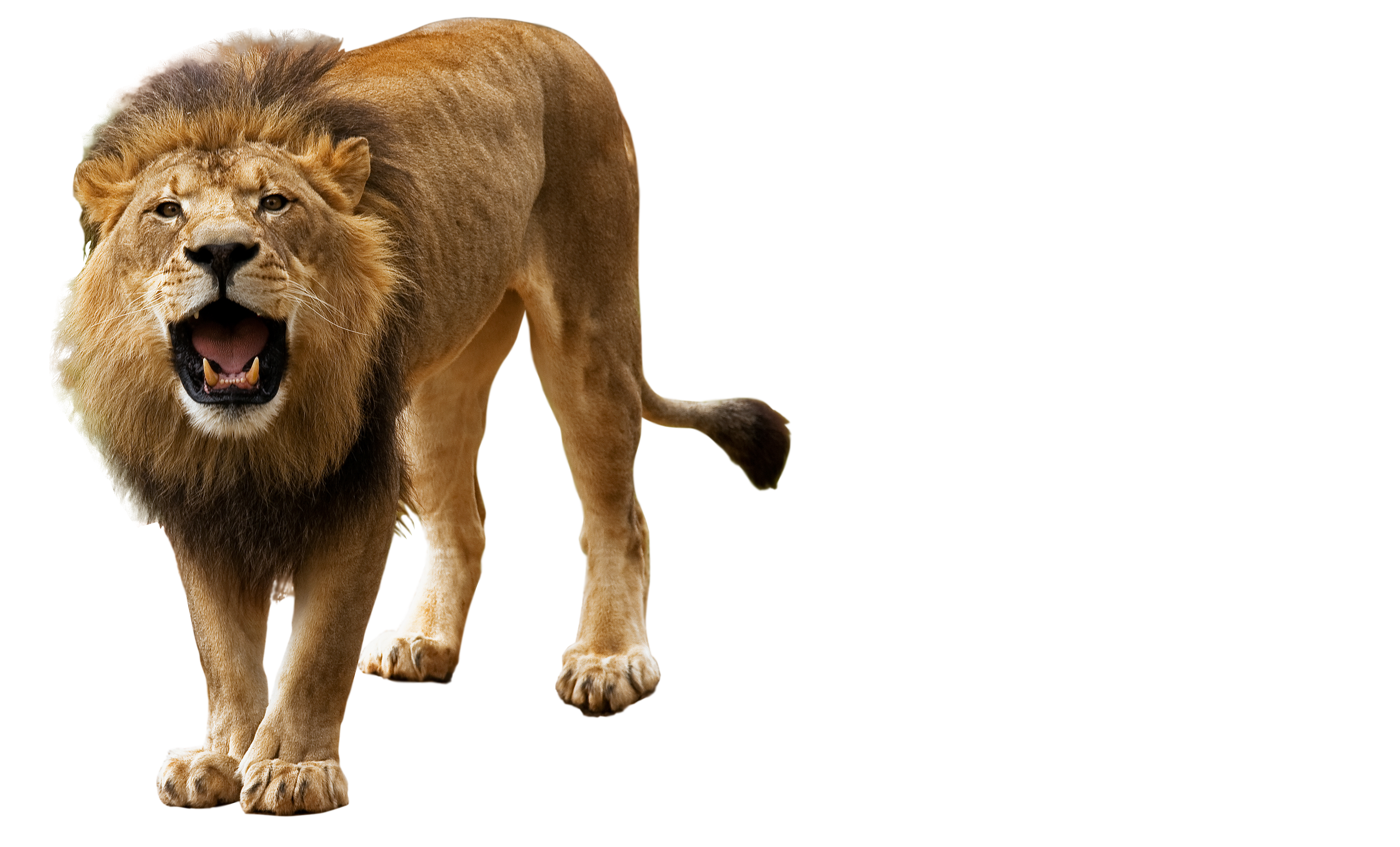 Roar, angry lion png #42280.