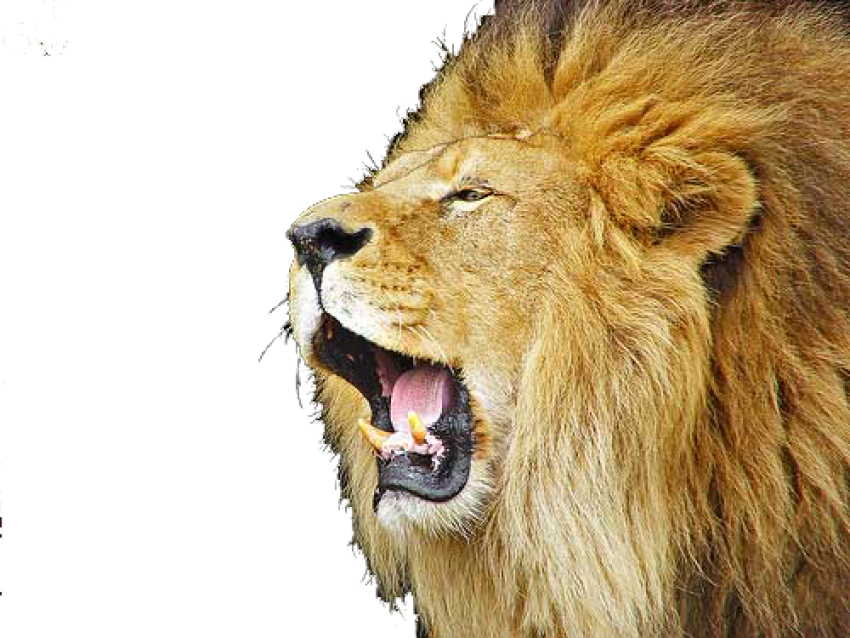 Lion Roaring HD Vector PNG.