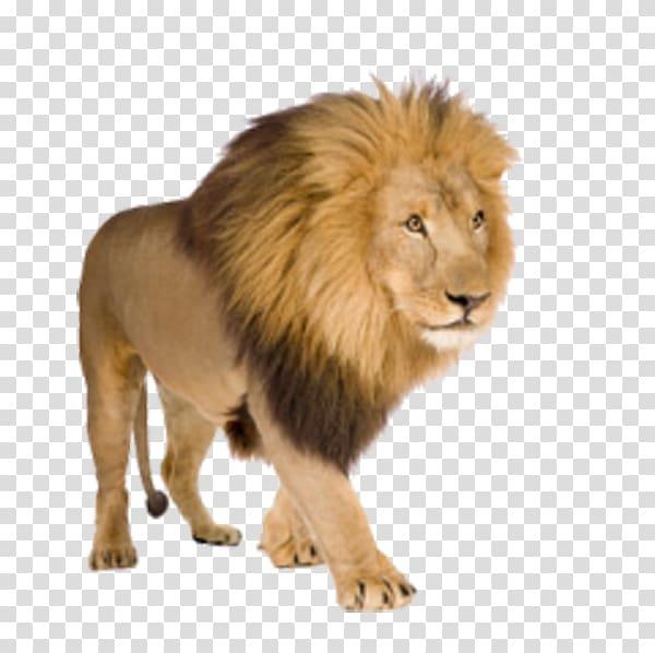 Lion , Walking Lion transparent background PNG clipart.