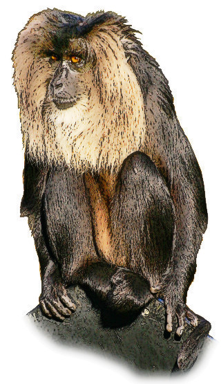 Lion tailed Macaque.