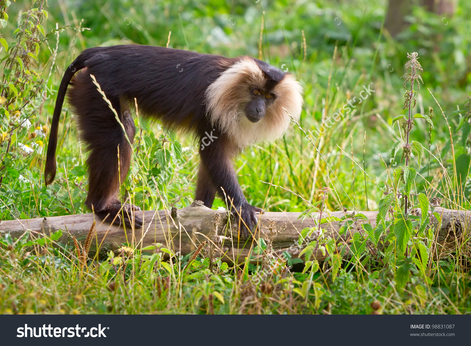 Lion Tailed Macaque Monkey Wildlife Park Stock Photo 98831087.