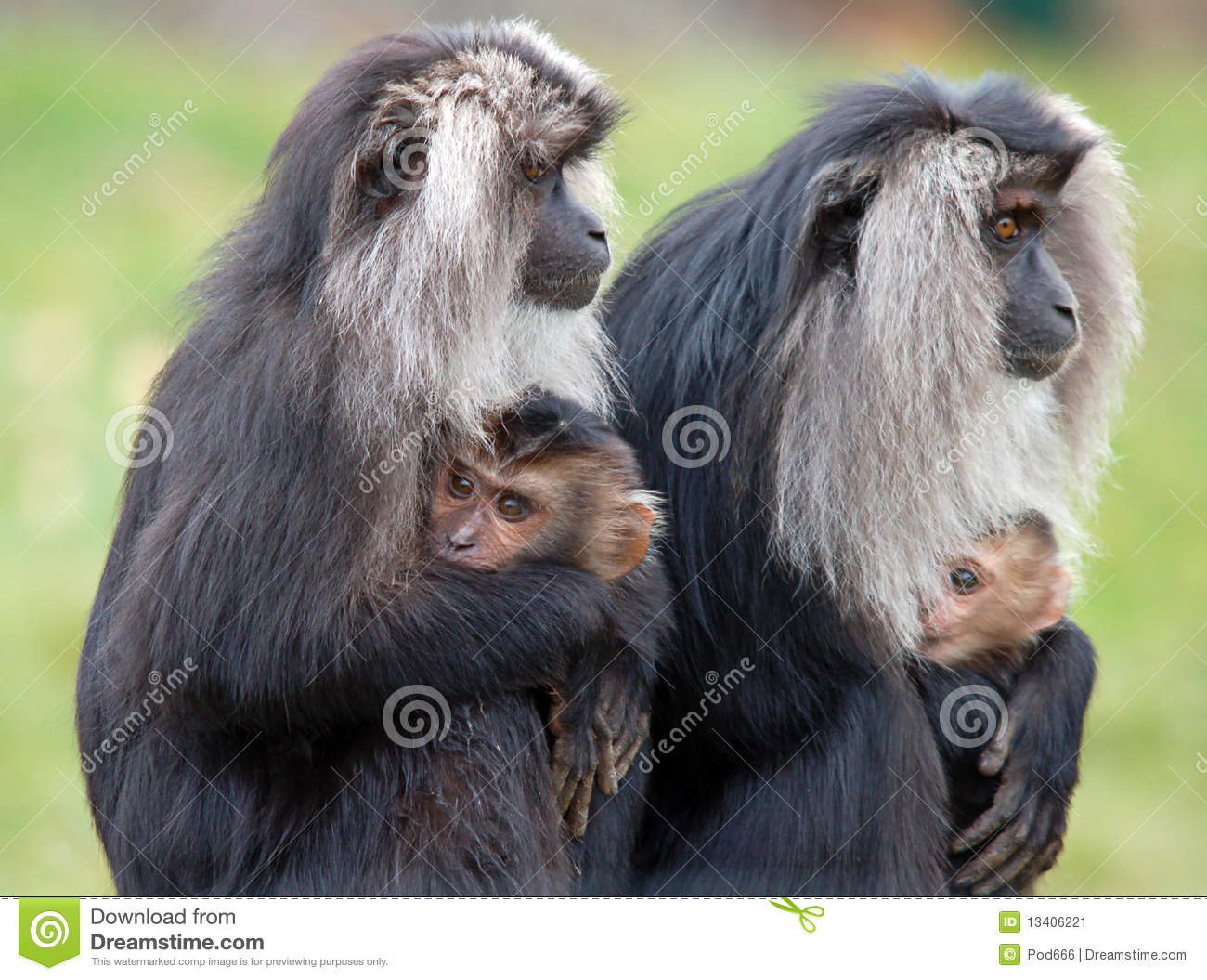 Lion Tailed Macaque Mothers And Infants Stock Image.
