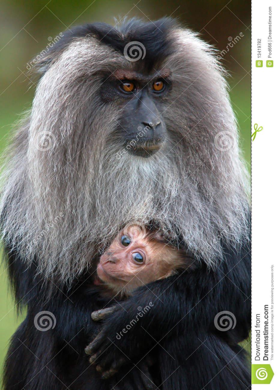 Lion Tailed Macaque Stock Photography.